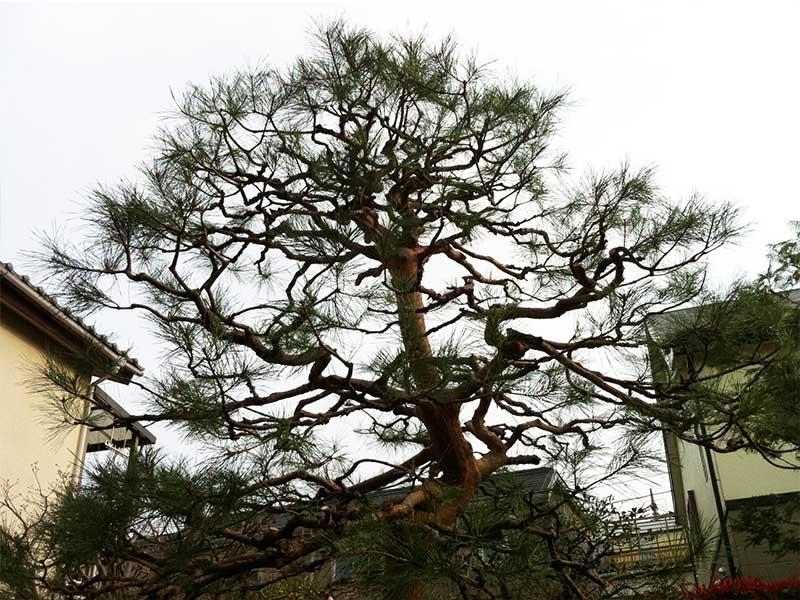施工後:東京都西東京市/松の木のお手入れ