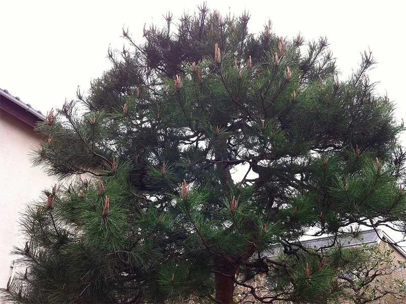 施工前:東京都西東京市/松の木のお手入れ