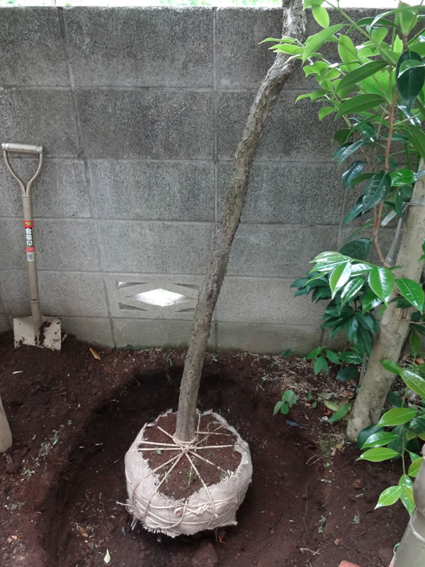 施工前:東京都練馬区/梅の木の移植