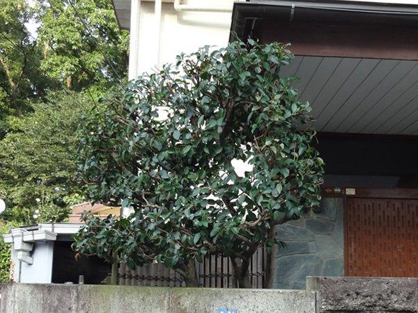 施工後:東京都東久留米市/山茶花のお手入れ