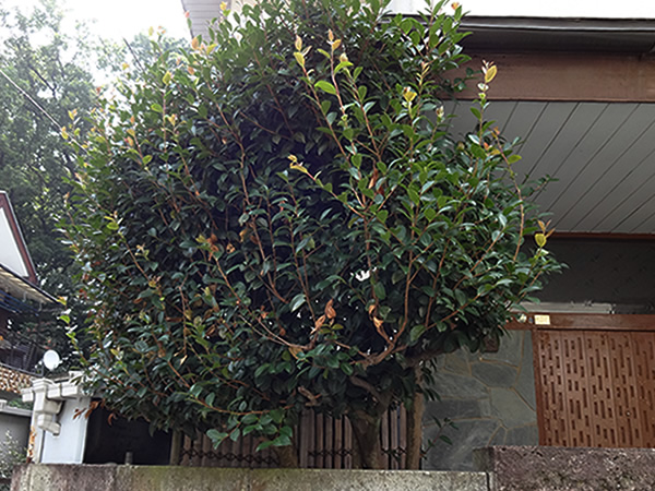 施工前:東京都東久留米市/山茶花のお手入れ