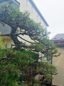 施工後:武蔵野市吉祥寺/松の木のお手入れ
