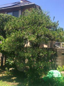 施工前:武蔵野市吉祥寺/松の木のお手入れ