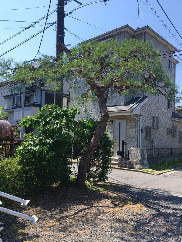 施工後:埼玉県/松の木のお手入れ