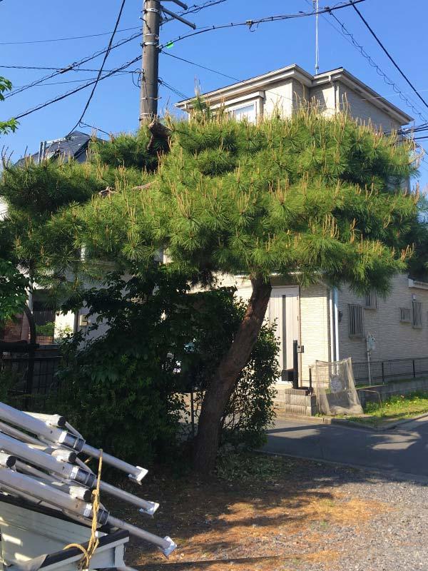 施工前:埼玉県/松の木のお手入れ