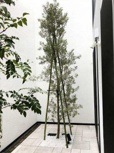 オリーブの植栽