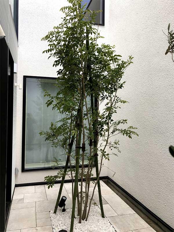 施工後:世田谷区/戸建シマトネリコの植栽工事
